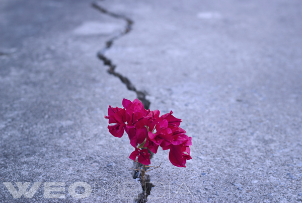 A red flower coming up through a crack in the concrete, experiencing a struggle